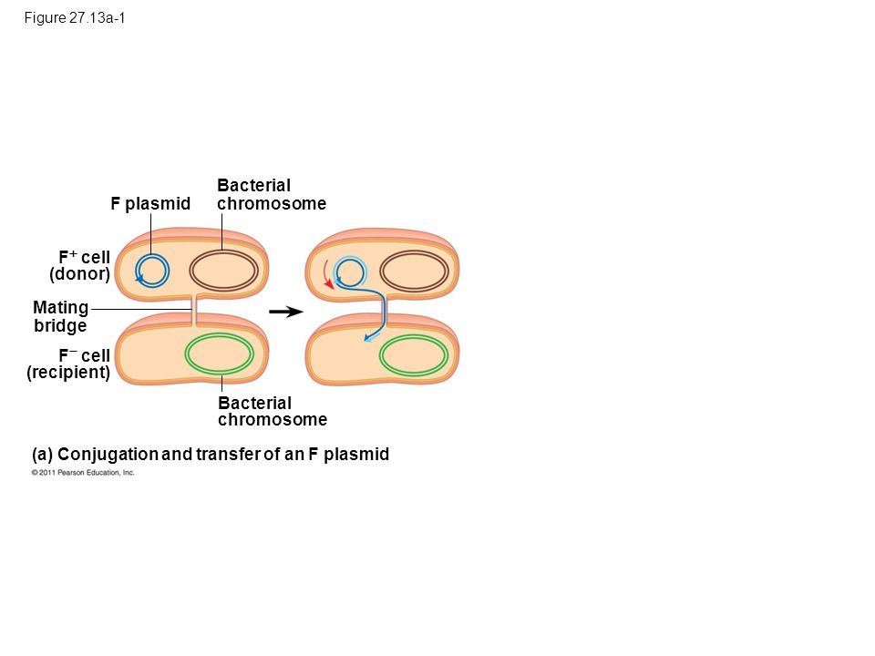 (a) Conjugation and transfer of an F plasmid