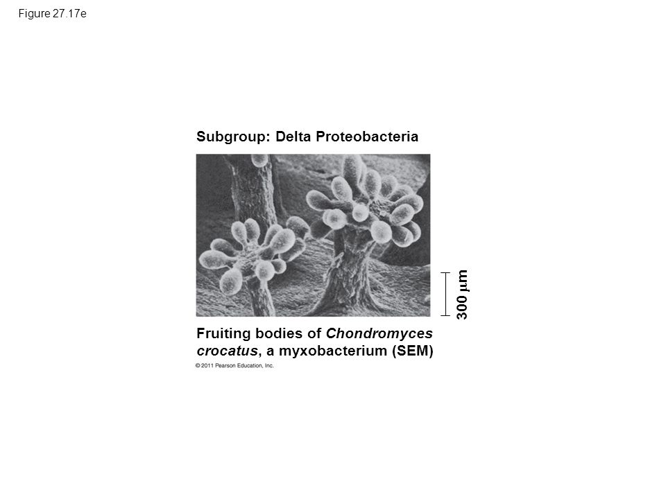 Subgroup: Delta Proteobacteria