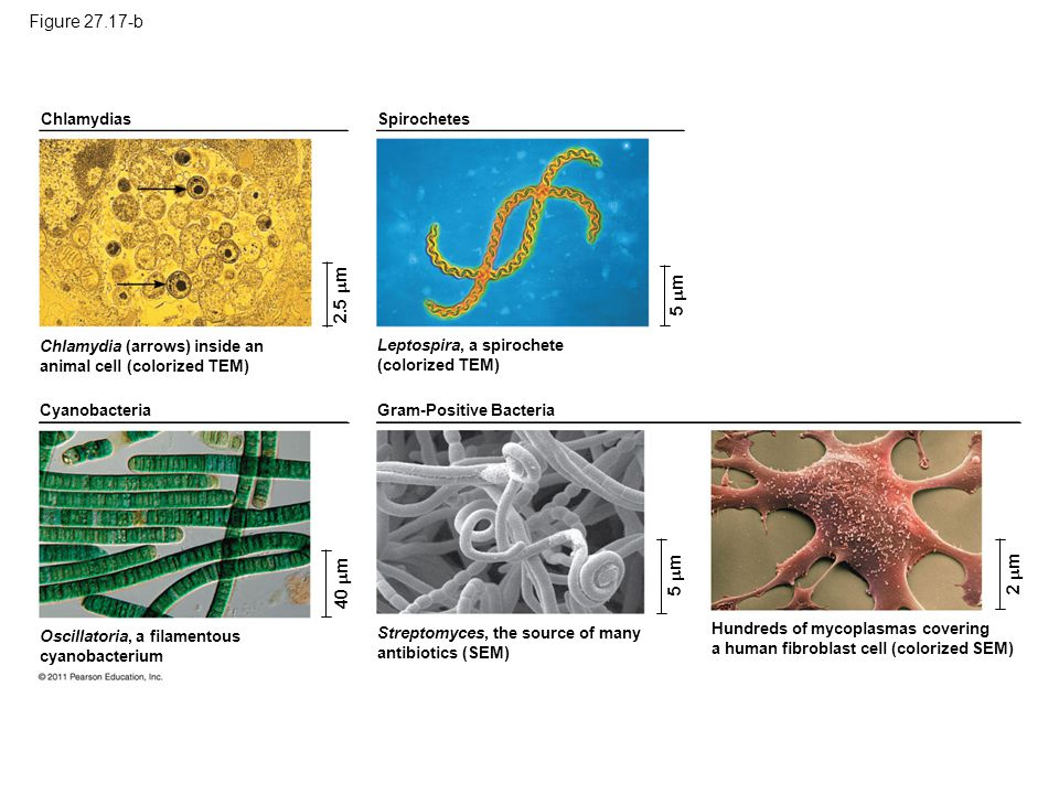 Figure 27.17 Exploring: Major Groups of Bacteria