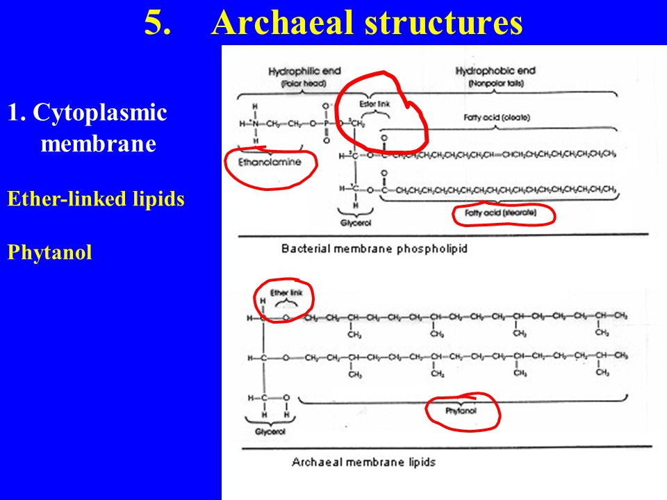 5. Archaeal structures 1. Cytoplasmic membrane Ether-linked lipids