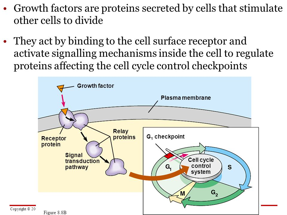 Cell cycle control system