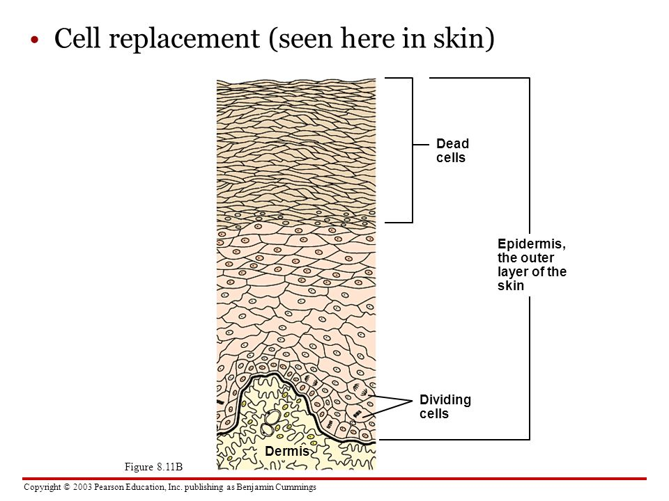 Cell replacement (seen here in skin)