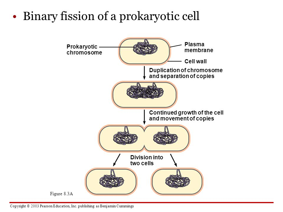 Binary fission of a prokaryotic cell