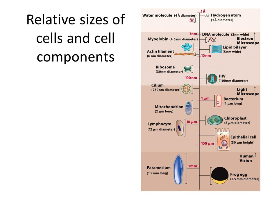 Relative sizes of cells and cell components
