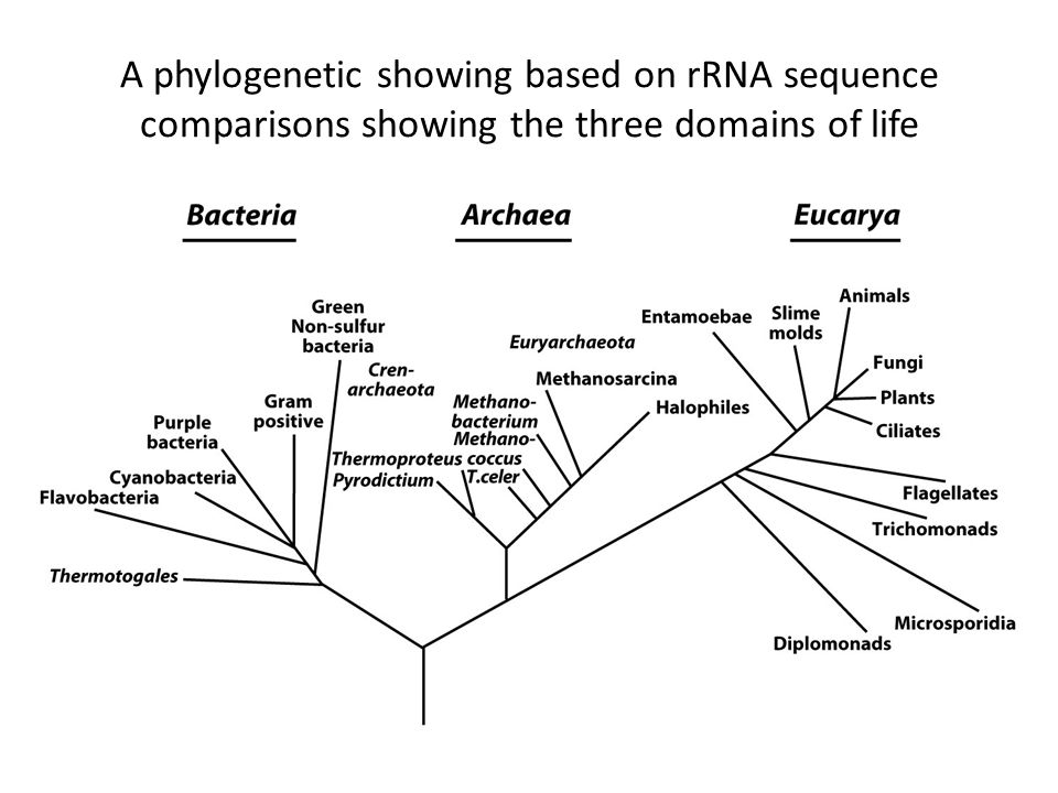 A phylogenetic showing based on rRNA sequence comparisons showing the three domains of life