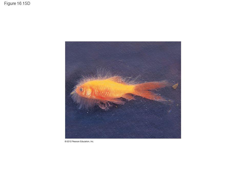 Figure 16.15D Figure 16.15D Water mold (white threads) decomposing a goldfish 100