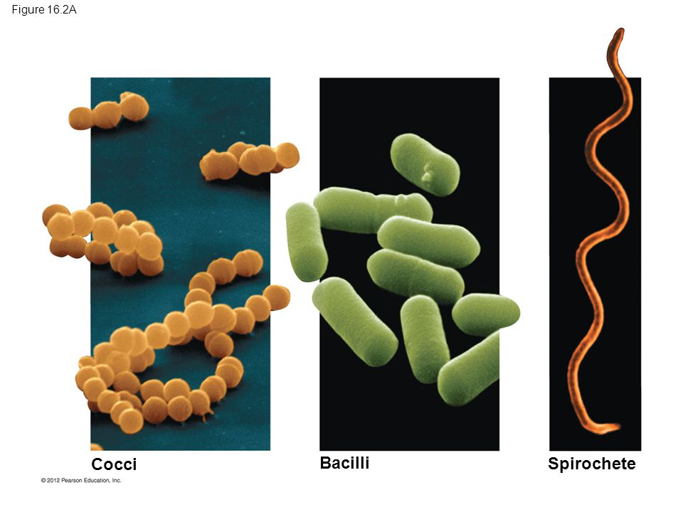 Cocci Bacilli Spirochete Figure 16.2A Figure 16.2A Prokaryote shapes