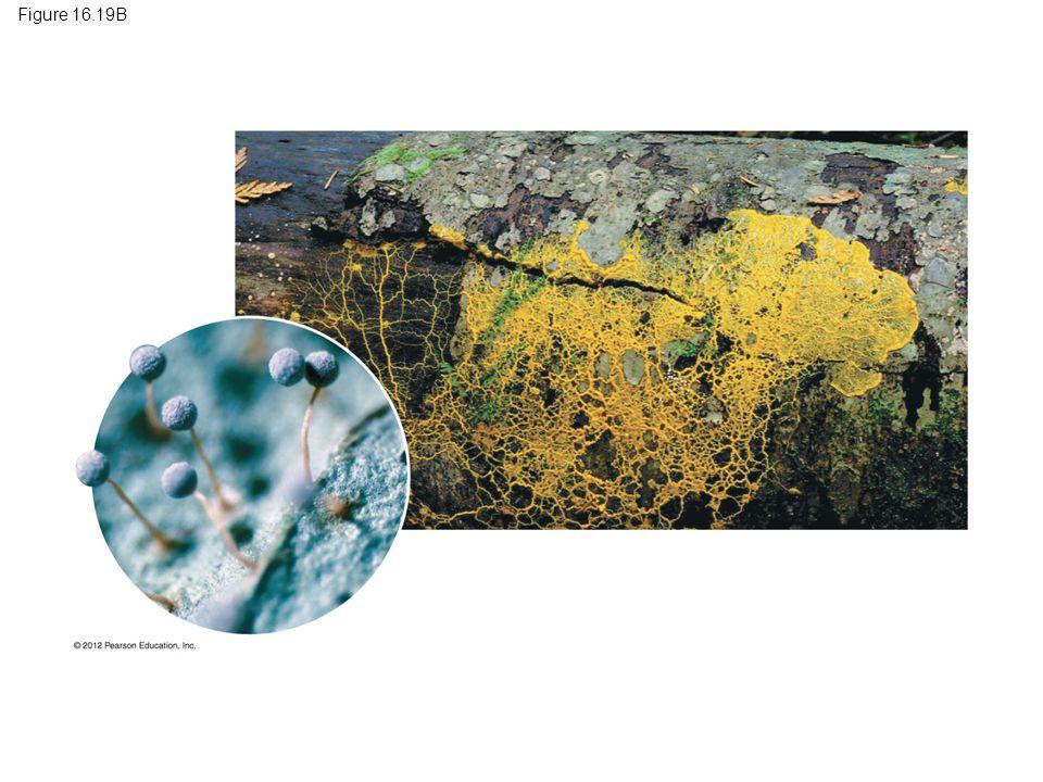 Figure 16.19B Figure 16.19B A plasmodial slime mold: Physarum 129