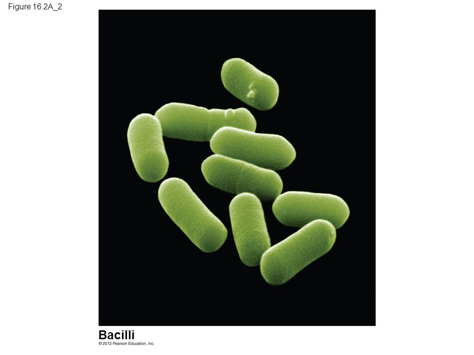 Figure 16.2A_2 Figure 16.2A_2 Prokaryote shapes: bacilli (part 2) Bacilli 13