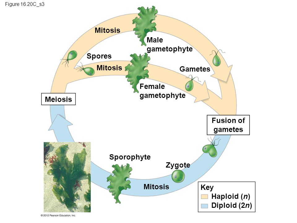 Mitosis Male gametophyte Spores Mitosis Gametes Female gametophyte