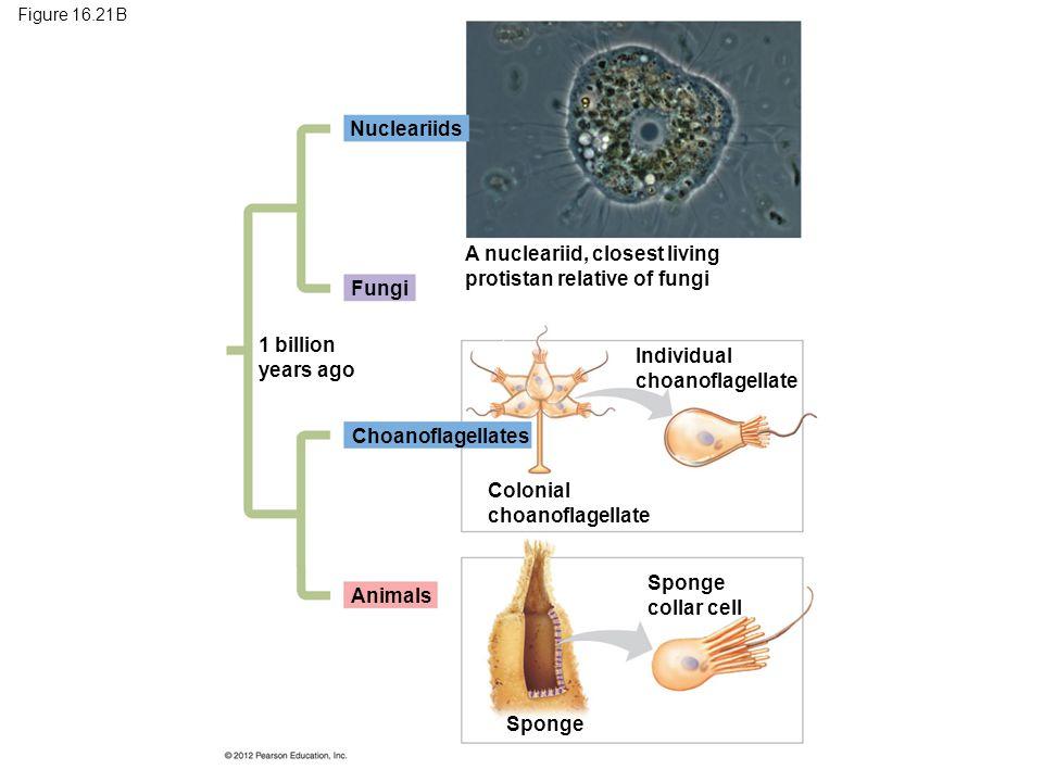 A nucleariid, closest living protistan relative of fungi Fungi