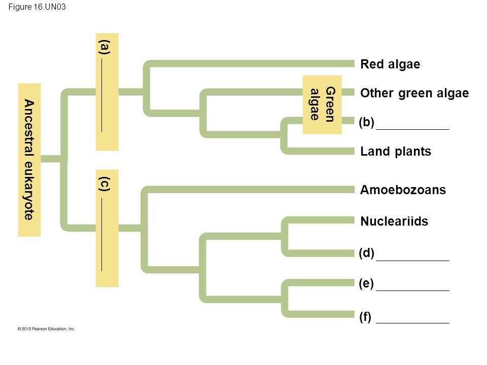 (a) algae Green Ancestral eukaryote (c)