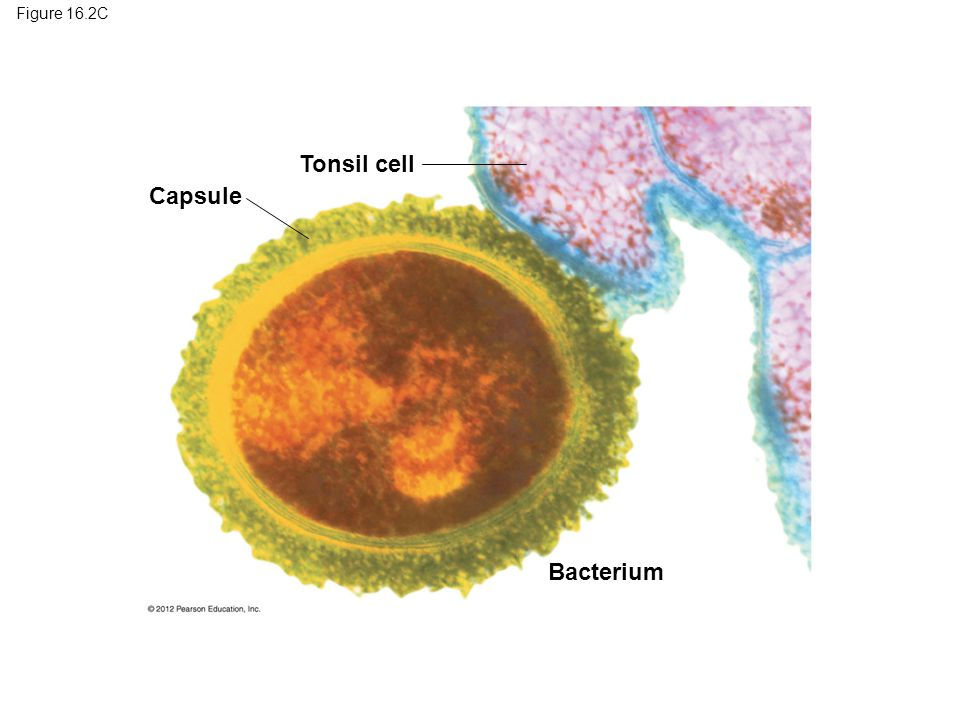 Figure 16.2C Tonsil cell Capsule Figure 16.2C Capsule Bacterium 18