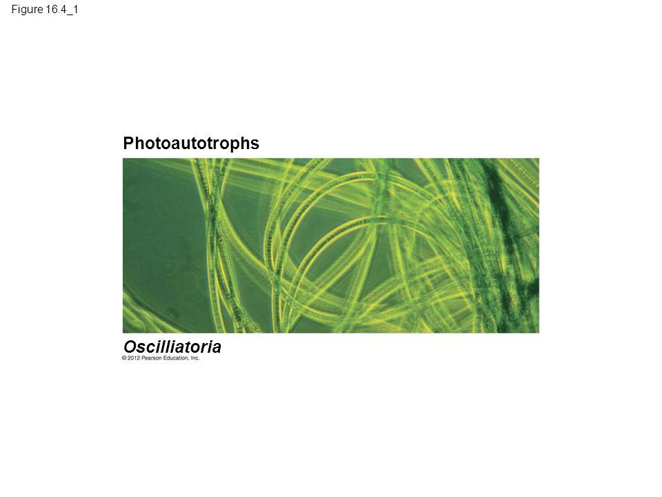 Photoautotrophs Oscilliatoria Figure 16.4_1