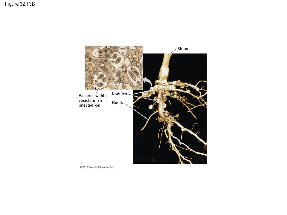 Figure 32.13B Root nodules on a soybean plant