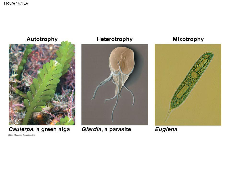 Autotrophy Heterotrophy Mixotrophy Caulerpa, a green alga