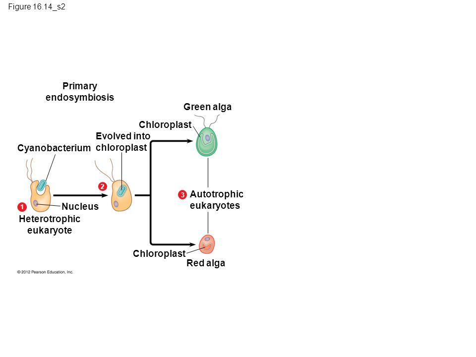 Primary endosymbiosis Green alga Chloroplast Evolved into chloroplast