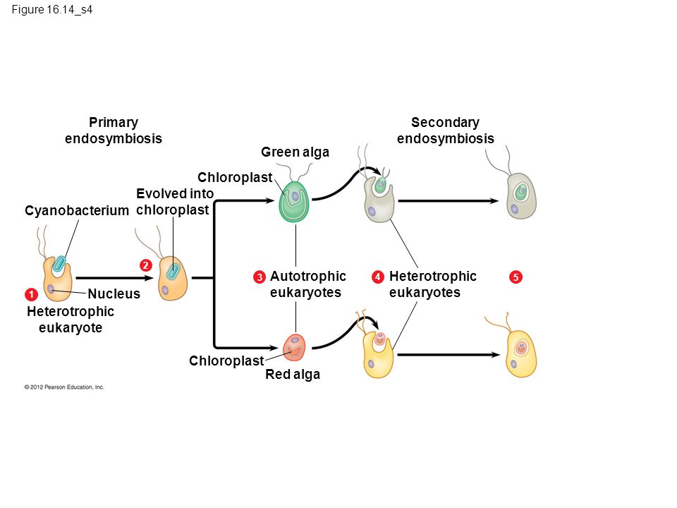 Primary endosymbiosis Secondary endosymbiosis Green alga Chloroplast