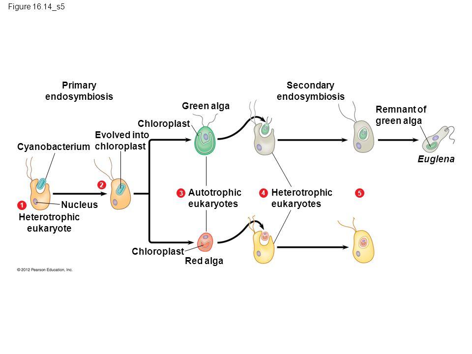 Primary endosymbiosis Secondary endosymbiosis Green alga Remnant of