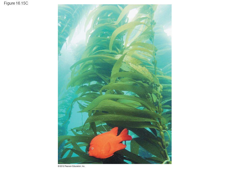Figure 16.15C Figure 16.15C Brown algae: a kelp forest 98