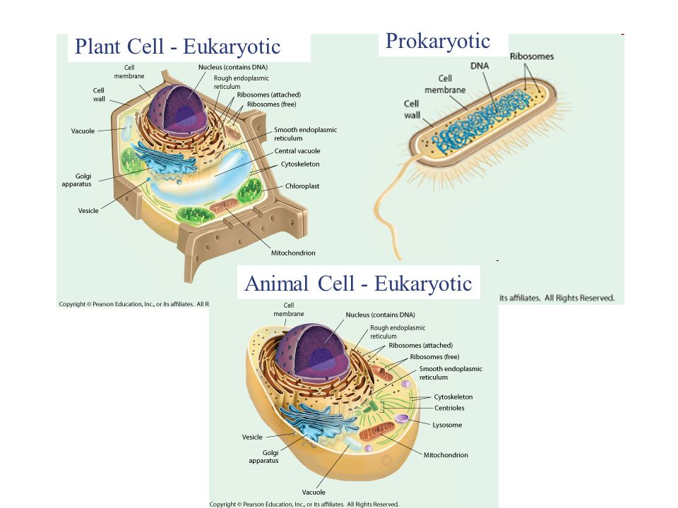 Animal Cell - Eukaryotic