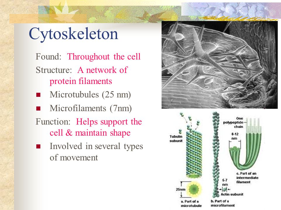 Cytoskeleton Found: Throughout the cell