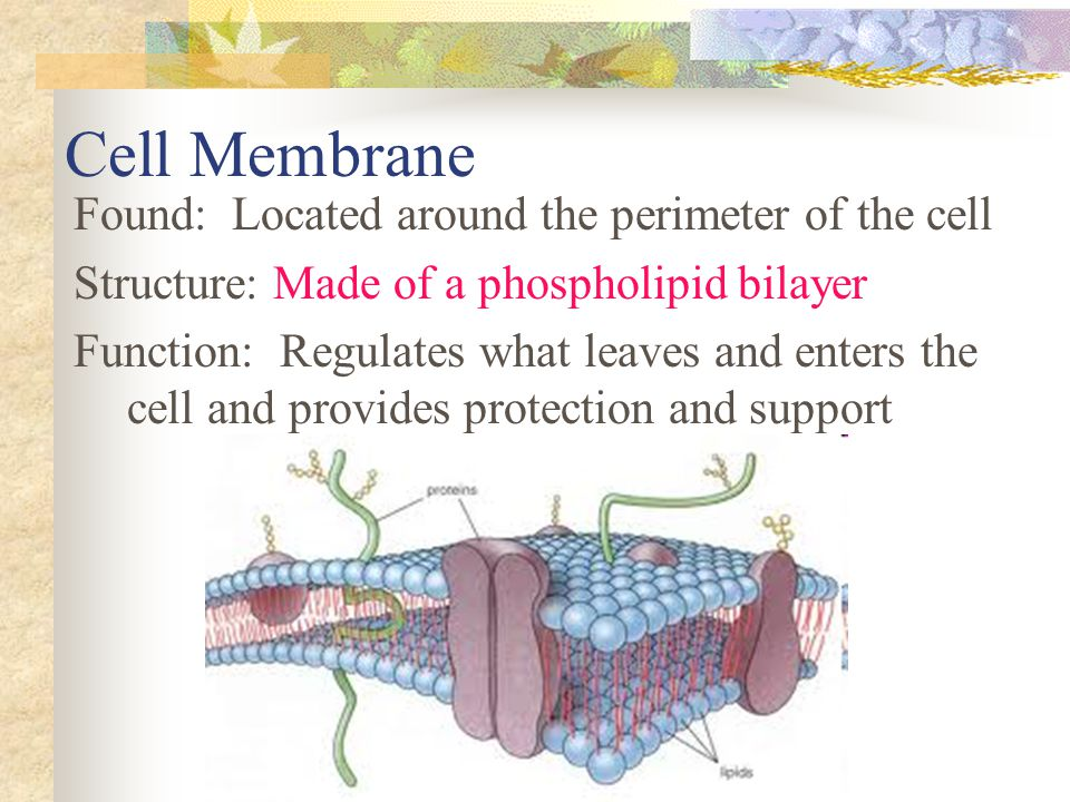 Cell Membrane Found: Located around the perimeter of the cell