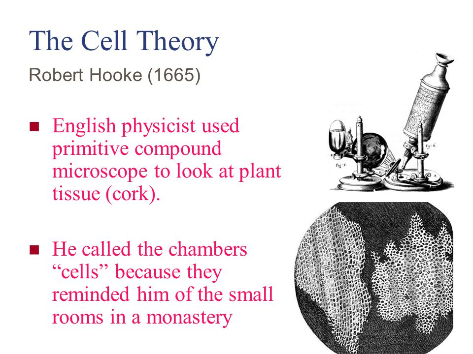 The Cell Theory Robert Hooke (1665) English physicist used primitive compound microscope to look at plant tissue (cork).