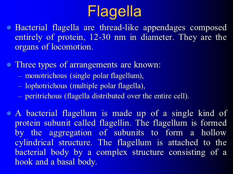 Flagella Bacterial flagella are thread-like appendages composed entirely of protein, 12-30 nm in diameter. They are the organs of locomotion.