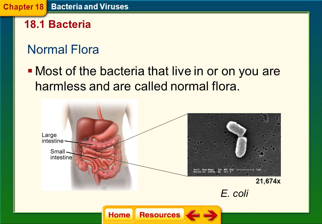 Chapter 18 Bacteria and Viruses. 18.1 Bacteria. Normal Flora.