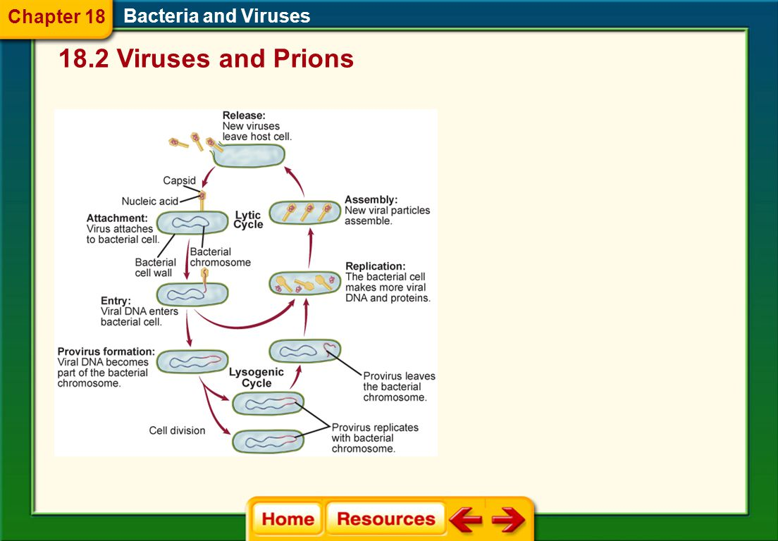 Chapter 18 Bacteria and Viruses 18.2 Viruses and Prions