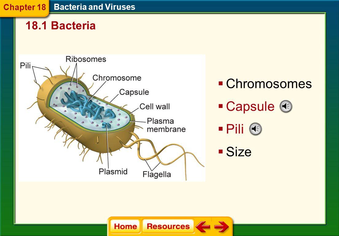 Chromosomes Capsule Pili Size 18.1 Bacteria Chapter 18