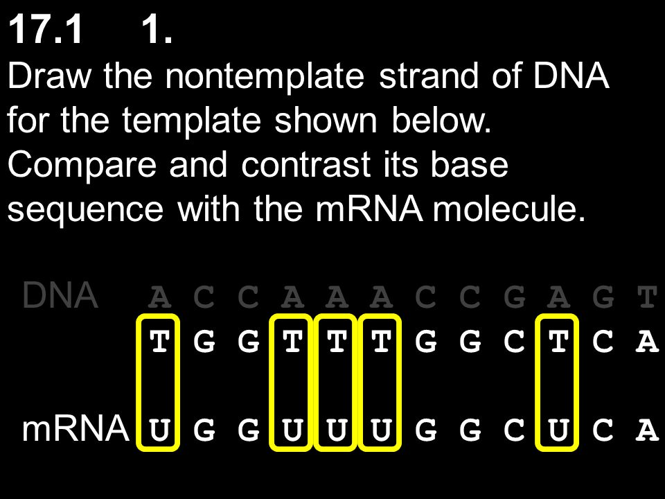 17.1 1. Draw the nontemplate strand of DNA for the template shown below. Compare and contrast its base sequence with the mRNA molecule.