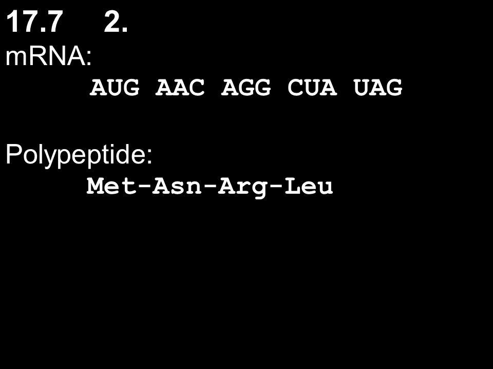 17.7 2. mRNA: AUG AAC AGG CUA UAG Polypeptide: Met-Asn-Arg-Leu