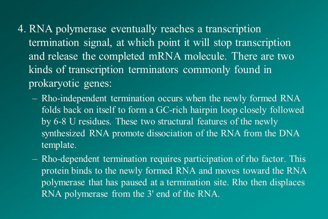 4. RNA polymerase eventually reaches a transcription termination signal, at which point it will stop transcription and release the completed mRNA molecule. There are two kinds of transcription terminators commonly found in prokaryotic genes: