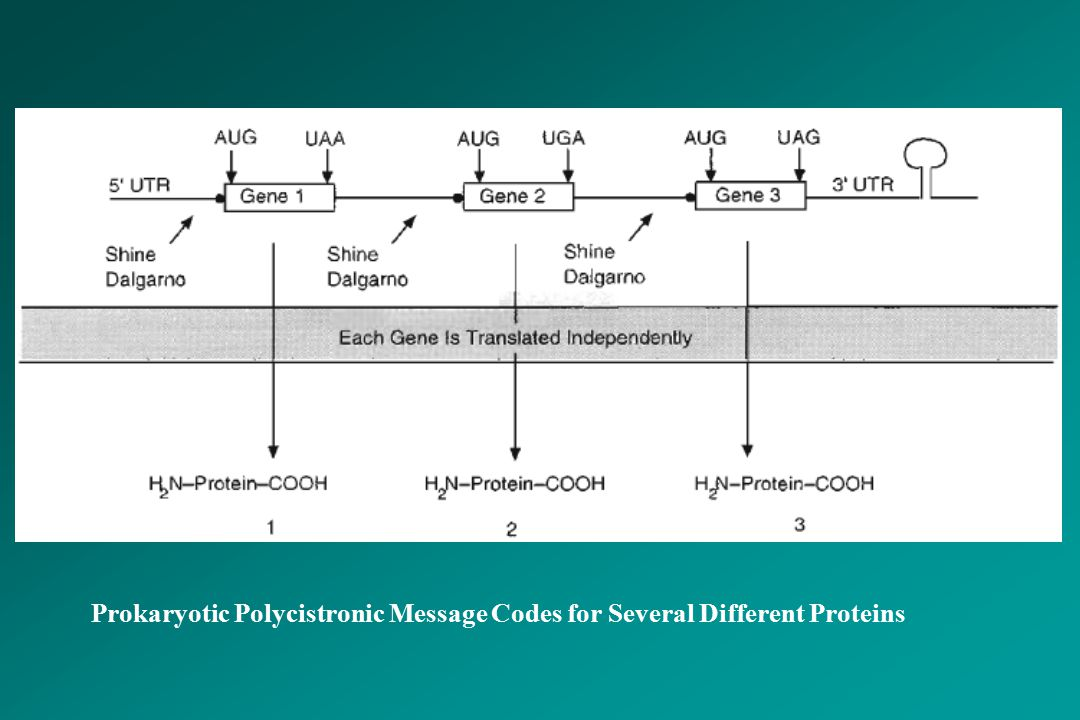 Prokaryotic Polycistronic Message Codes for Several Different Proteins