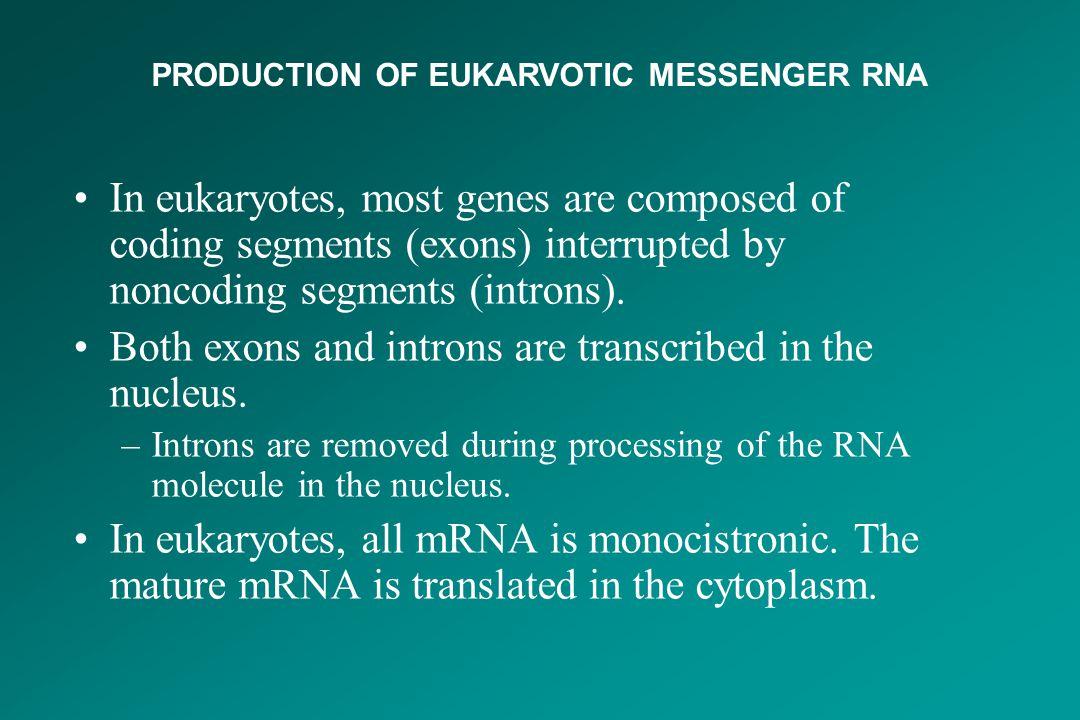 PRODUCTION OF EUKARVOTIC MESSENGER RNA