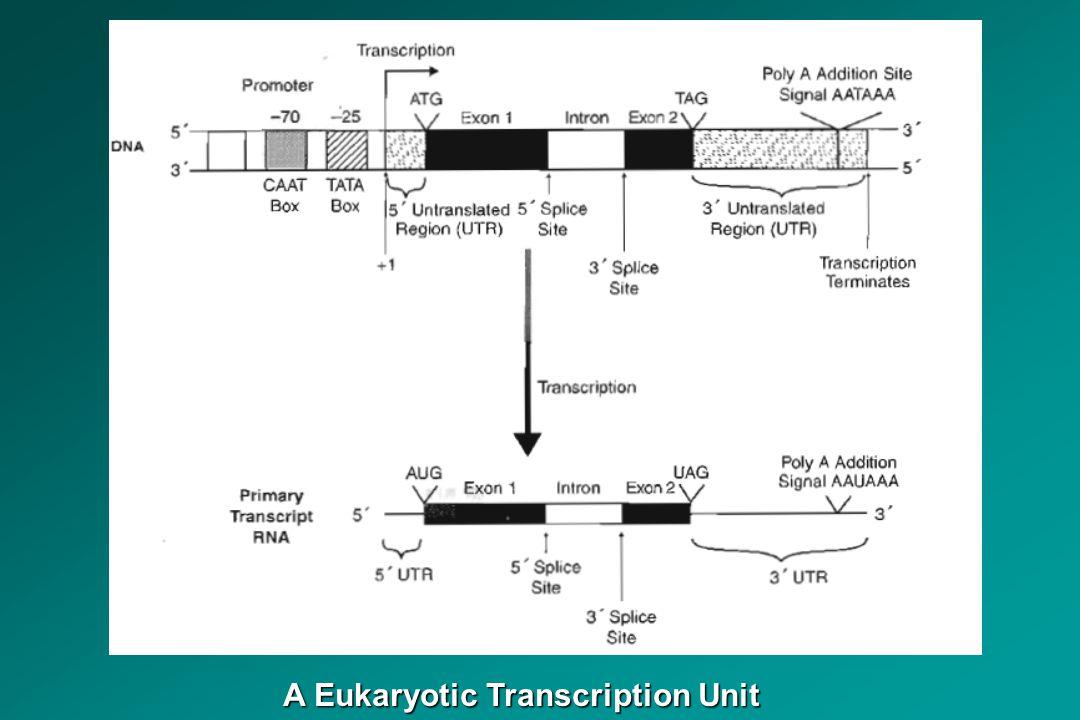 A Eukaryotic Transcription Unit