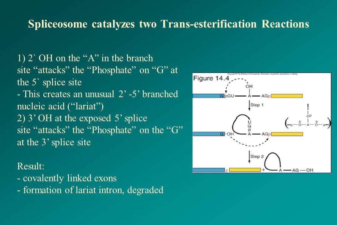 Spliceosome catalyzes two Trans-esterification Reactions