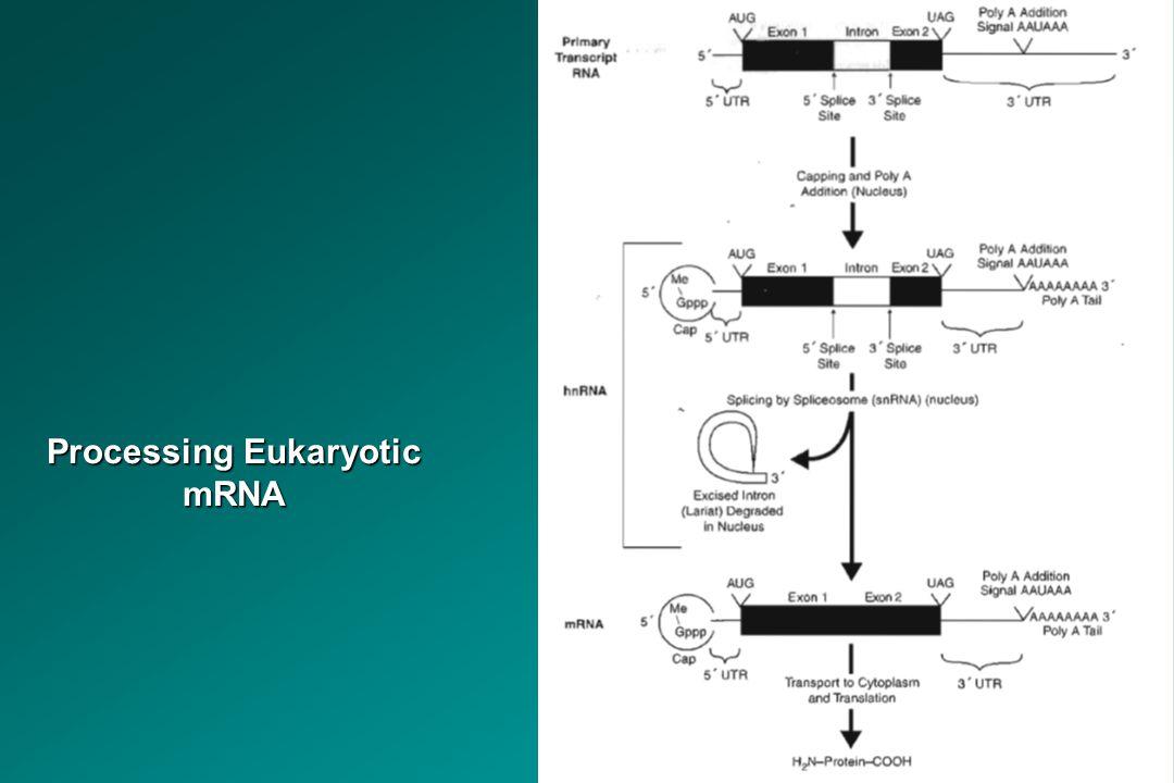 Processing Eukaryotic mRNA