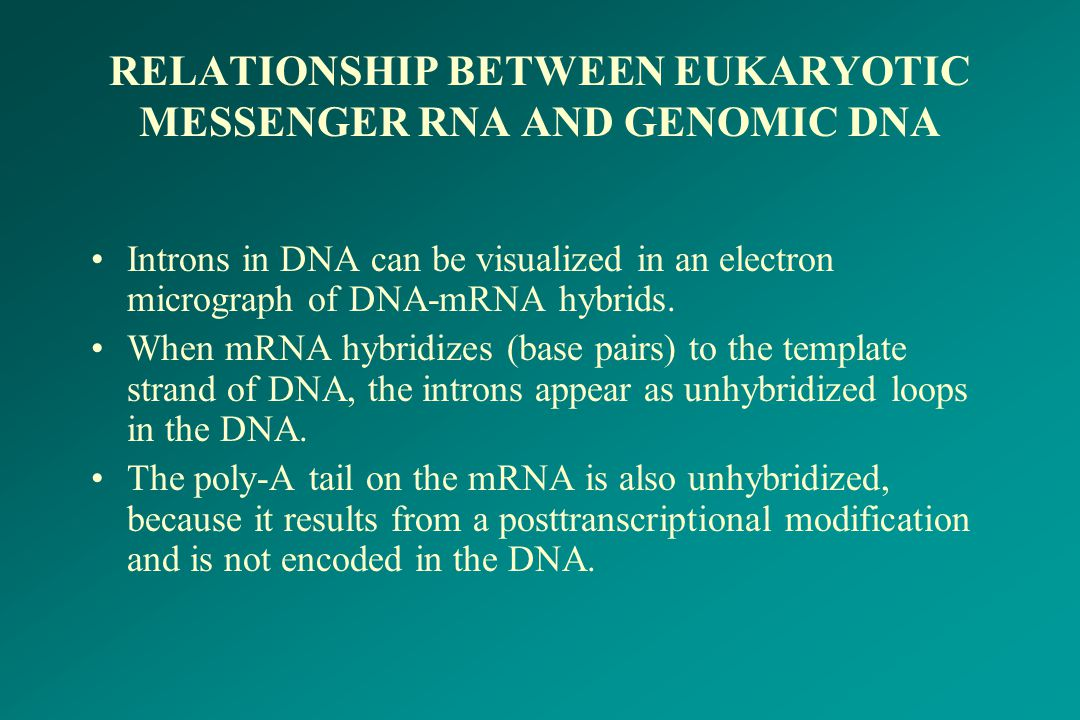 RELATIONSHIP BETWEEN EUKARYOTIC MESSENGER RNA AND GENOMIC DNA