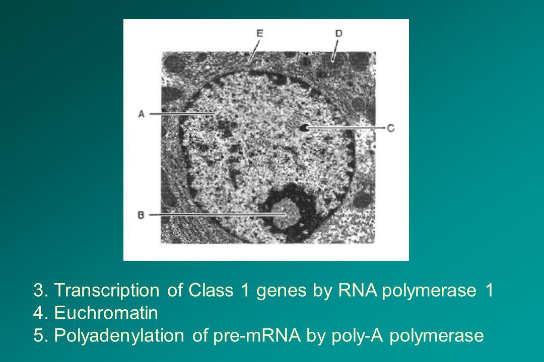 3. Transcription of Class 1 genes by RNA polymerase 1 4. Euchromatin