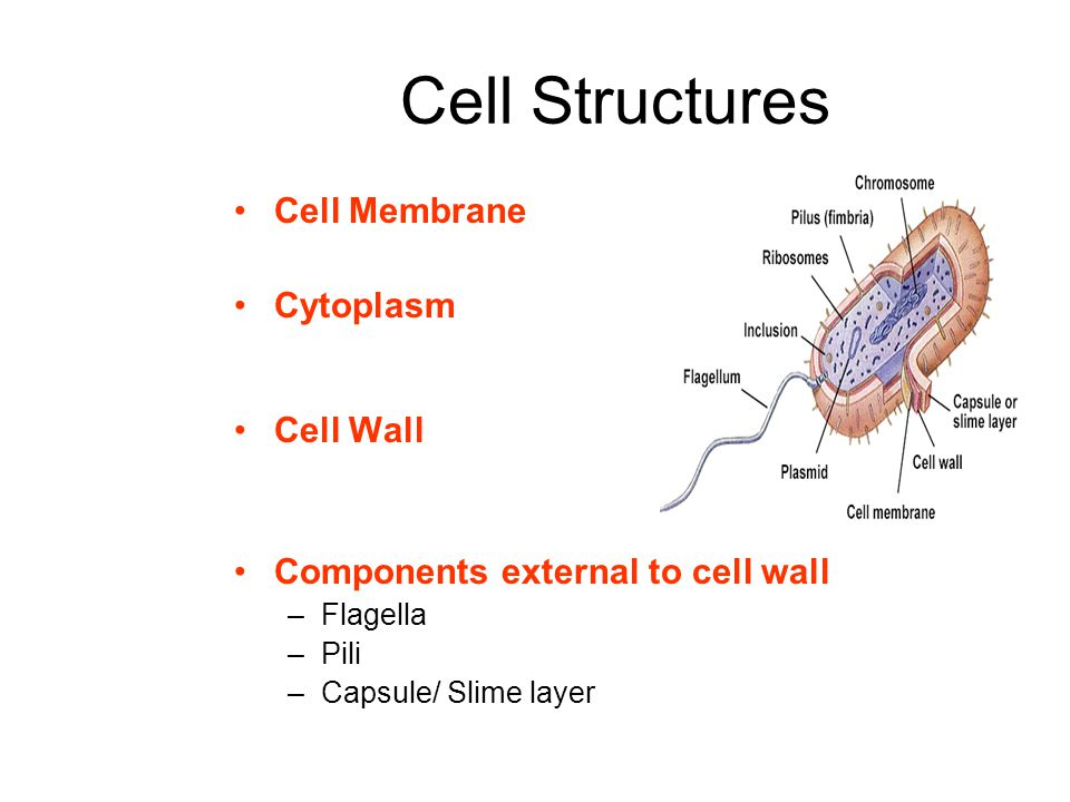 Cell Structures Cell Membrane Cytoplasm Cell Wall