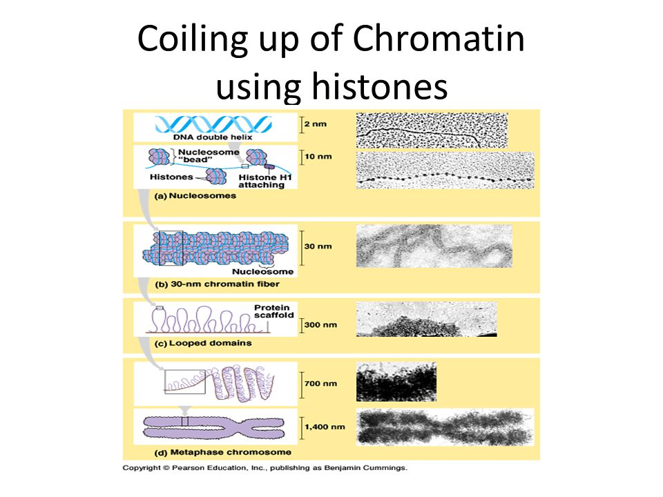 Coiling up of Chromatin using histones