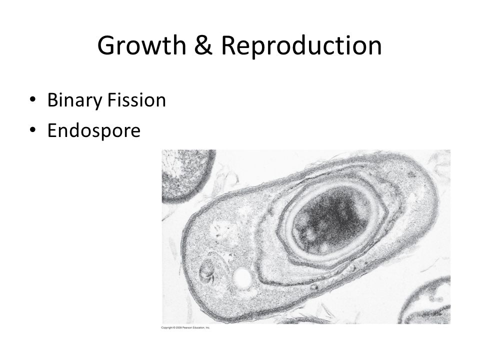 Growth & Reproduction Binary Fission Endospore