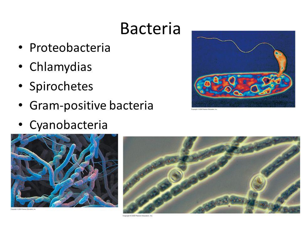 Bacteria Proteobacteria Chlamydias Spirochetes Gram-positive bacteria