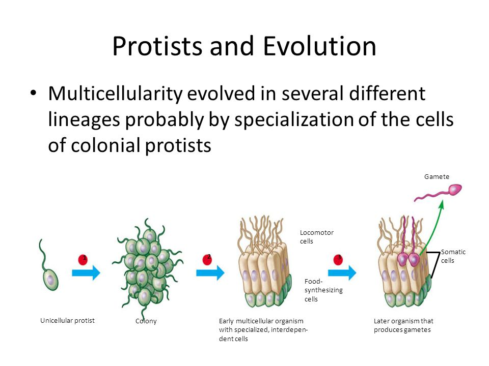 Protists and Evolution