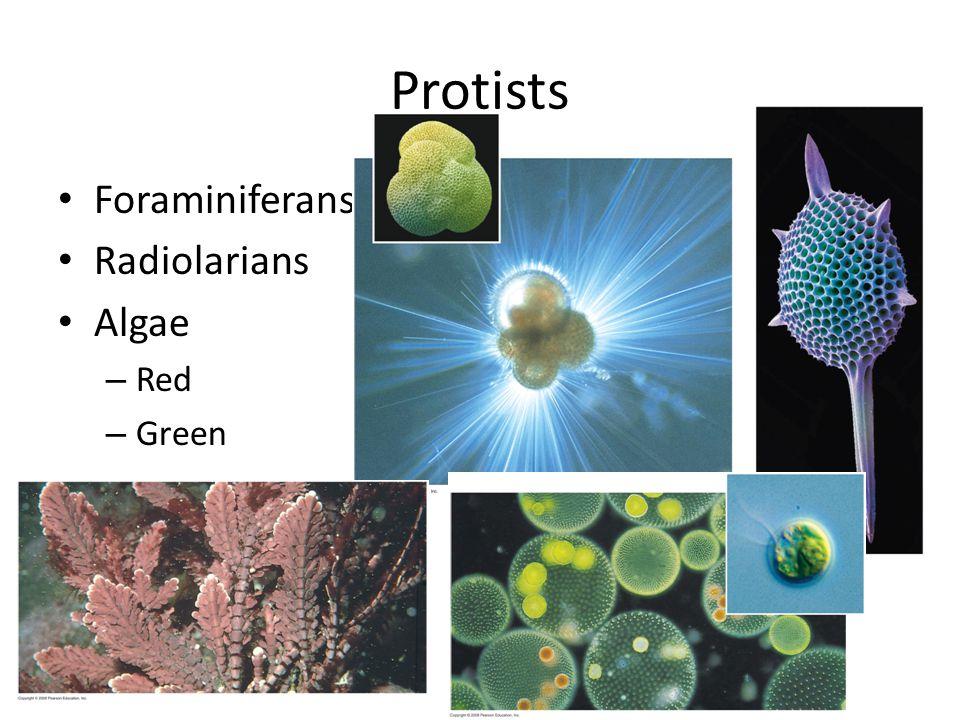 Protists Foraminiferans Radiolarians Algae Red Green