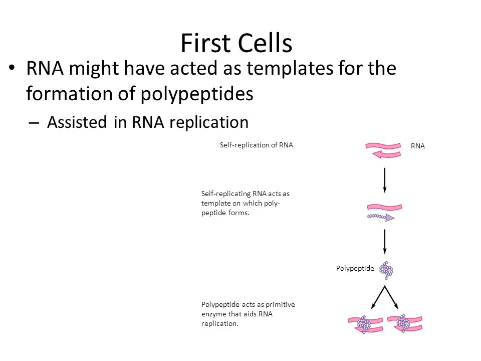 First Cells RNA might have acted as templates for the formation of polypeptides. Assisted in RNA replication.