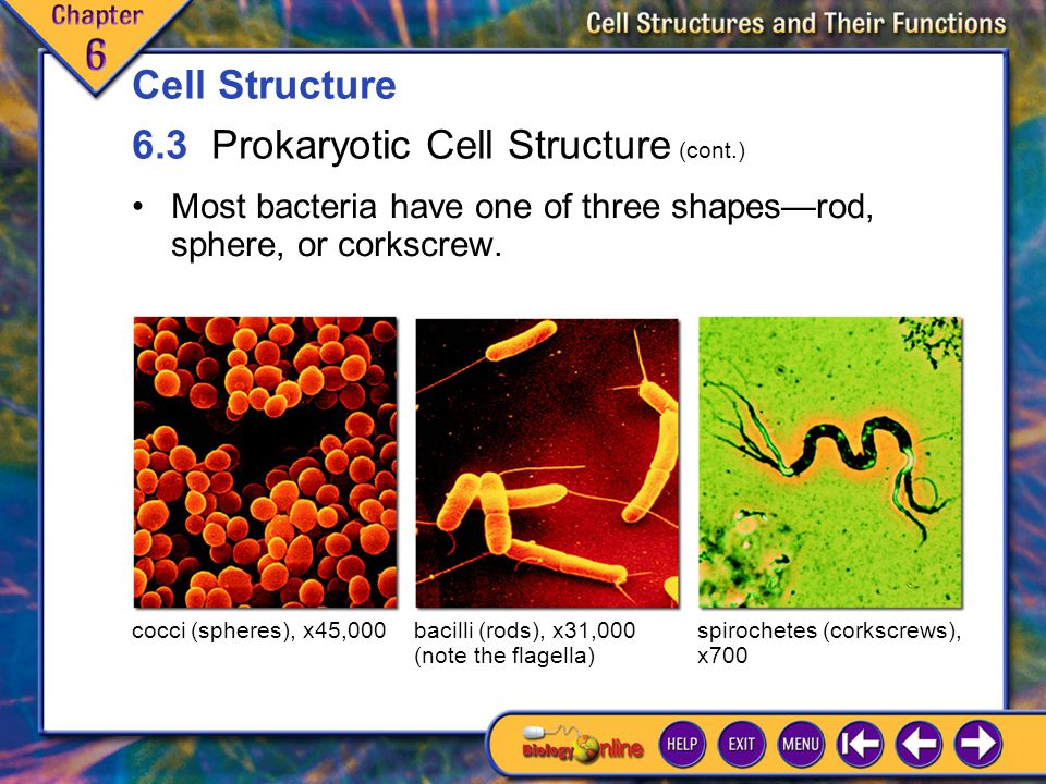 6.3 Prokaryotic Cell Structure 4